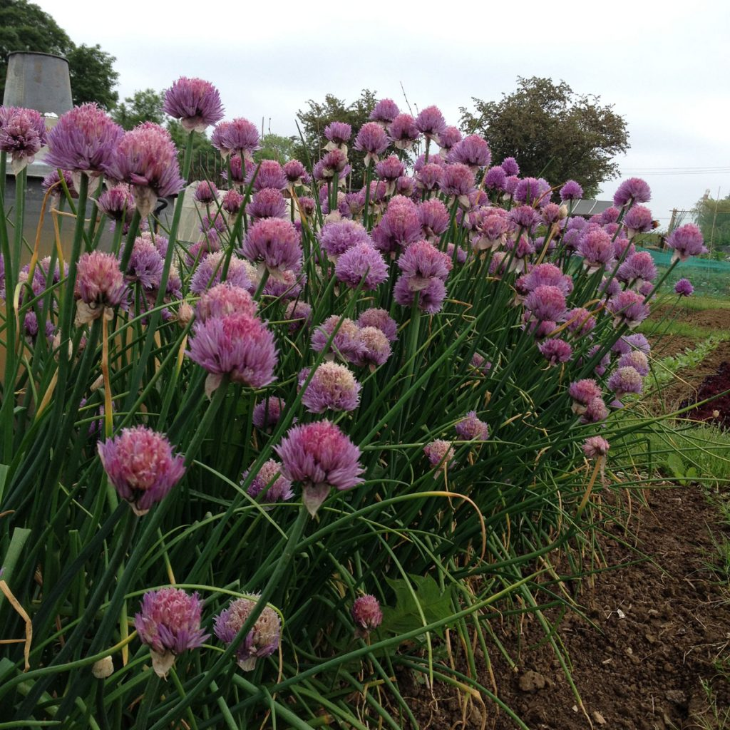 allotment-chives-flower